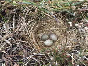 Skylarks nest on reclaimed land